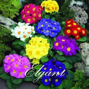 Verbena Hybrida Flower Mix Farbe 100 Samen leicht zu wachsen von Samen Hardy jährliche Bonsai Garden Plant