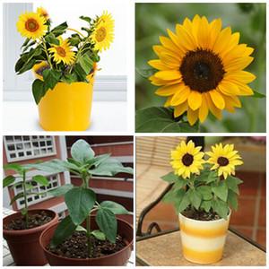 Ücretsiz kargo 50 adet mini ayçiçeği tohumları Cüce ayçiçeği tohumu ayçiçeği serisi yükseklik 40 cm Çiçek Tohumları