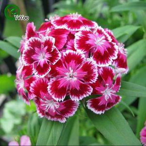 Dianthus Tohumları Nadir Çiçek Tohumları DIY Ev Bahçe tesisi Kolay Büyütmek 50 Parçacıklar / lot Q041