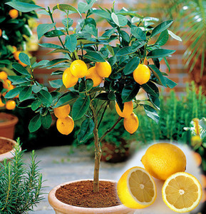 20PCS BAG Edible Fruit Meyer Lemon Seeds, Exotic Citrus Bonsai Lemon Tree Fresh Seeds F059