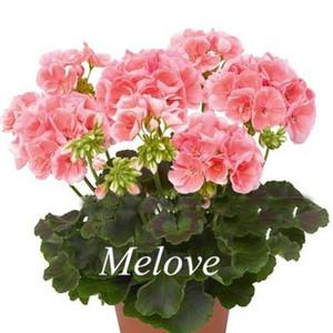 20 Pcs Pink Geraniums Flower Seeds Perennial DIY Home Garden Flower