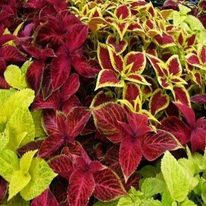 Coleus Rainbow Blume Mix Coleus Samen Garten Dekoration Pflanze 20 stücke C02