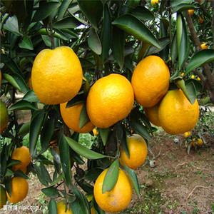 Semi di frutta arancione, semi di albero, 30 particelle / sacchetto frutti bonsai S005