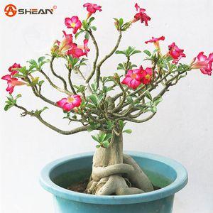 Desert Rose Seeds Fleurs en pot Graines Adenium Obesum Couleur En option 100% de semences véritables Tir en nature 1 particule / lot