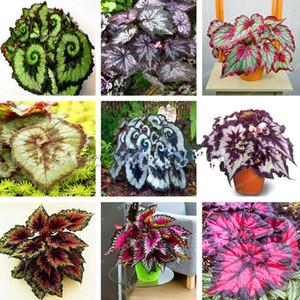 100 adet / torba Begonya Tohumları Bonsai Çiçek Tohumları Avlu Balkon Coleus Tohumları Begonya Bitkiler Ev Bahçe Için Saksı