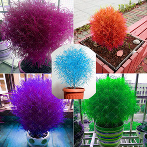 300 pcs bag 5 color bonsai kochia burning bush kochia scoparia,grass seeds,flower seeds,outdoor plant for home garden planting