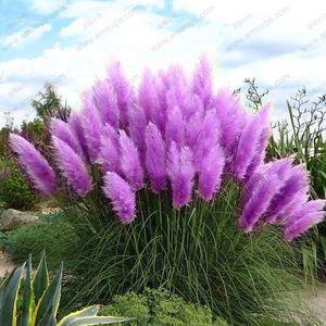 Vendita all'ingrossoNew 500 Purple Pampas Grass Seeds Piante ornamentali Cortaderia Selloana Grassplant bonsai