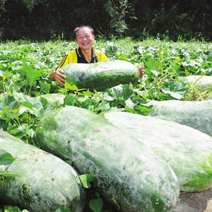 China waxgourd, Semillas de Big melon, Semillas de empaquetado del color 30seeds / bag fruit seeds for home Semillas de Vegetales