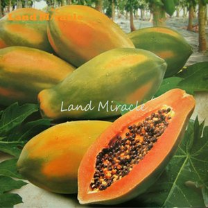 Meradol Miradol Caraïbes Rouge Caraïbes Caraïbes Sunrise Papaya Plant 10 Graines Gros Fruits Nain Papaye Fruits Graines Patte Miniature Organique No-Gmo
