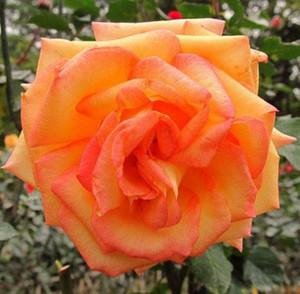 Seltene Orange Rose Blumensamen Gartenpflanze, 25% Rabatt Buy 2 Or Mehr