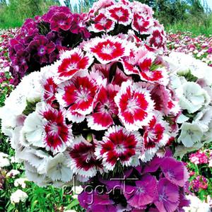 Karışık Renk Dash Dianthus 500 Tohumlar Tatlı William Kompakt Variety Yıllık Bahçe Bonsai Pot Zemin Bitki