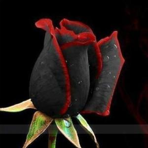 20 semi di rosa nera - con bordo rosso, colore raro, popolare fiore da giardino semi cespuglio perenne o fiore bonsai