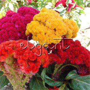 Mischfarbe Riesenschwanzkamm Celosia Flower 1000 Seeds Colorufl Velvet Celosia Sehr pflegeleichte Blume, gedeiht bei Hitze und Trockenheit
