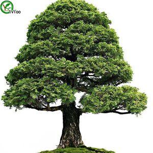 Sementes de Árvore de cipreste Sementes de Árvores de Alta Taxa de sobrevivência bonsai Semente De Fruto Para Casa Jardim Bonsai Planta 50 pcs W012