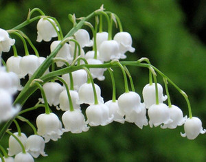 Heirloom White Lily of the Valley Convallaria majalis Perennial Flower Seeds, Professional Pack, 50 Seeds   Pack, Very Beautiful