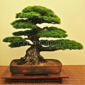 50 semillas de pino negro japonés para bricolaje Home Garden Bonsai Fácil de cultivar a partir de semillas Evergreen Pot Container Yard Balcón Planta