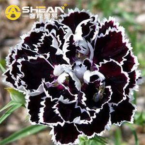 Bir Paket 200 Adet Siyah Karanfil Tohumları Balkon Saksı Avlu Bahçe Bitkileri Tohumları Gül Dianthus Caryophyllus Çiçek Tohumu