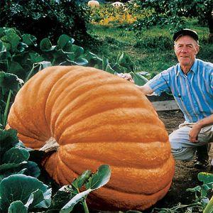Правда гигантские семена тыквы, большой сквош декоративные тыквы семена, бонсай органические фрукты семена овощей для дома сад 10 шт. / пакет