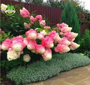 Wholesale50 Vanilla Strawberry hydrangea Semillas de flores para plantar en maceta o moler la planta fácil bonsai