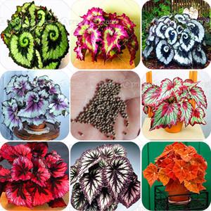 100 adet / torba begonya tohumları bonsai çiçek tohumları avlu balkon Coleus tohumları begonya bitkileri ev bahçe için saksı