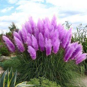 Purple Pampas Grass Seeds Ornamentale casa giardino bonsai vaso Piante semi di fiori Nuovo Raro Cortaderia Selloana 600 PZ
