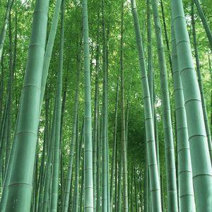Un paquete de 60 piezas de semillas Semillas de bambú Moso gigante fresco para bricolaje Home Garden Plant