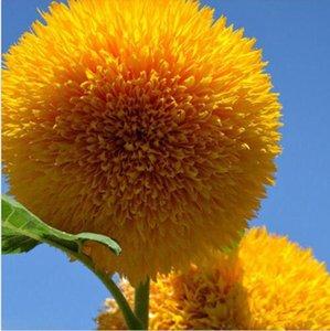 15 Tohumlar Teddy Bear Ayçiçeği Tohumu Yarı Cüce Helianthus Bahçe Güzel Çiçek Tohumları