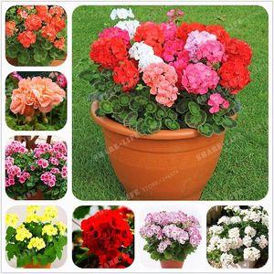 100 Pcs Multicolor Univalve Sementes de Gerânio Sementes de Flores Perenes Pelargonium Peltatum Sementes para Home Garden Indoor