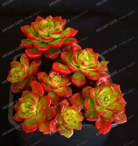 100PCS superventas! Suculentas Sedeveria Letizia Cactus Semillas Lotus Lithops Bonsai Home Gardening Macetas de flores Balcón flor