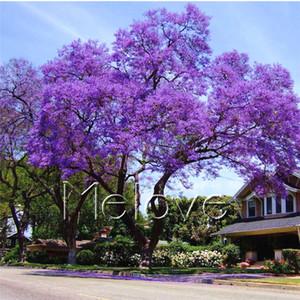 20 Jacarandá Azul Sementes para plantar Jacarandá Mimosifolia DIY Início Jardim Bonsai Quintal Planta Bela Flor de longa duração