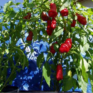 Graines De Plantes En Pot Peter Pepper Les Plus Douces Nouvelles Et Intéressantes Chili Peppers Graines Bonsai Home Garden 100 PCS