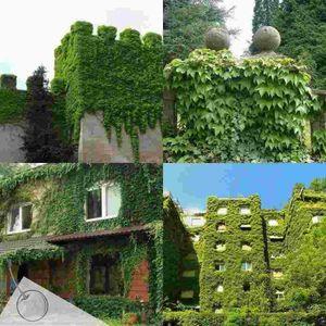 BOSTON IVY SEEDS, Parthenocissus Tricuspidata, planta de decoración de jardín de trepadora / trepadora de rápido crecimiento 20pcs P10