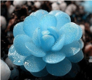 50 sementes / pacote Importado mini sementes de plantas suculentas em vasos caules Tetragonia pedra crua azul sementes de flores de lótus