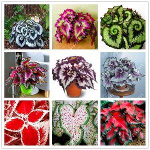 Wholesale100pcs / çanta güzel Begonya, begonya tohumları bonsai çiçek tohumları Mixplant bonsai