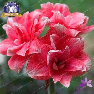 4 Ampuller Amaryllis Ampuller Gerçek Hippeastrum Ampuller Çiçekler (Değil Tohumları) çiçek ampul