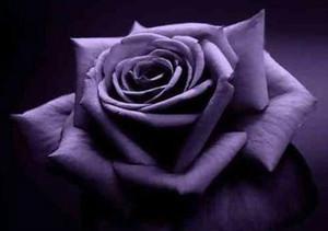 Pas cher Coloré Rainbow Rose Graines Livraison Gratuite Rose Graines Patio Maison Plante Jardin Belle Graines De Fleurs