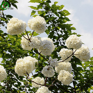 Semillas de hortensias blancas Semillas de flores raras Planta de jardín de bricolaje Fácil de cultivar 30 Partículas / lote a010