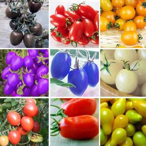 6 Tipos De Tomates De Cereja Varanda Sementes de Frutas Semente Legumes Em Vasos de Bonsai Planta de Tomate Tomates Sementes Um Pacote de 100 Pcs