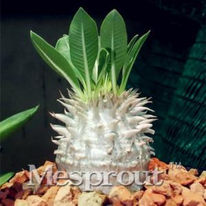5 pçs / saco Pachypodium Saundersii Sementes de Flores Spiny Suculenta Namaquanum Pachypodium Sementes De Raiz Carnuda