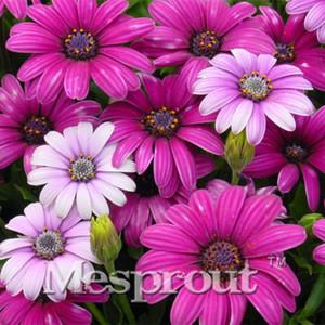 Vendita calda Raro 100 PZ DaisySeeds viola Piante da fiore in vaso Blue Daisy Semi di fiori per giardino domestico fai da te