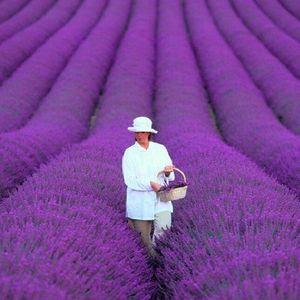 200 Teile / beutel französisch provence lavendel samen sehr duftenden organischen lavendel samen pflanze blume blumensamen Hausgarten Bonsai