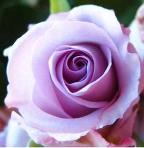 2017 vendita calda tre semi di rosa * 80 pezzi semi per pacchetto * semi di fiori per piante da giardino di casa m13