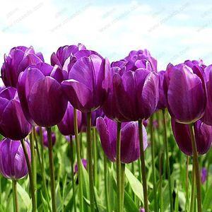 großhandel SELTEN! 100 gemischte zufällige Regenbogen Tulip Seeds, Topf Tulip Flower Seedsplant Bonsai
