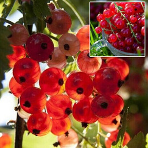 Red currant Fruit plant Pan-American Gooseberry seeds Lantern fruit seed - 5 seeds   lot