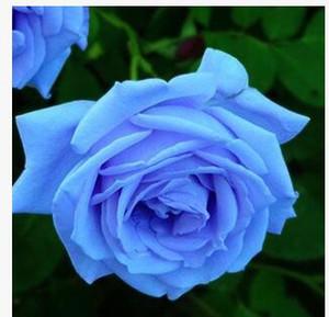 무료 배송 블루 요술쟁이 로즈 씨앗 패키지 * 새로운 도착 옴 브레 매력적인 정원 식물 당 10 조각의 씨앗 *