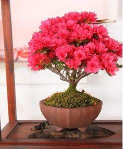 30 graines / paquet Bonsai plante en pot crape rouge graines de myrte graines de fleurs