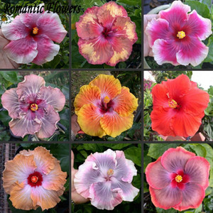 wholesale50 частиц/мешок гигантские семена гибискуса садового дома многолетник Pottedplant бонсай