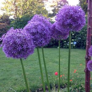 Semillas de cebolla exóticas Semillas de allium gigante Balcón multicolor Flores en macetas (blanco, verde púrpura) 30 piezas / bolsa