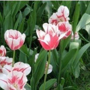 wholesale5 Tulip bulbs 100% Genuine Tulip Flower bulbs H COLOR 7plant bonsai