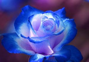 핫 세일 8 색 장미 씨앗 레인보우 보라색 빨강 파랑 장미 빛 핑크 옐로우 그린 레드 로즈 식물 / 정원 씨앗
